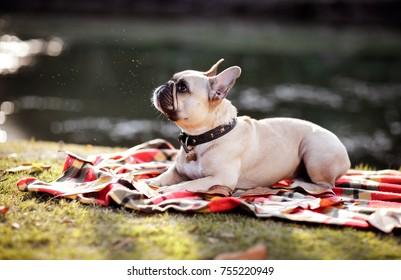 dog portrait French bulldog breed