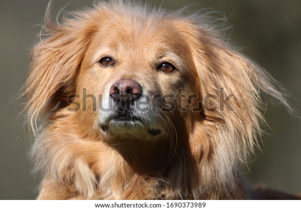 dog-portrait-great-golden-retriever-600w