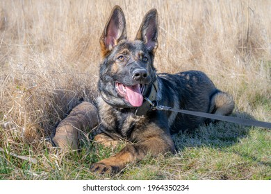 A dog portrait of a happy four months old German Shepherd puppy laying down in high, dry grass. Working line breed