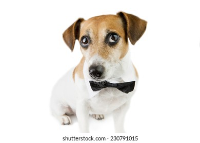 Dog portrait looks up with a tie. White background. Studio shot