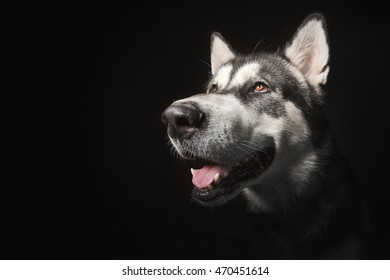 Dog portrait on a black background. Funny Alaskan Malamute.