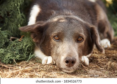 Dog portrait, small mongrel dog lying on the ground near evergreen arborvitae thuja tree, looking straight.  Blurred background