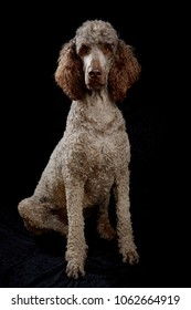 Dog Portrait in Studio