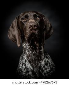Dog portrait, studio shot.