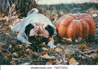Dog pug in an autumn leaves with pumpkin. Thanksgiving day. Halloween. Autumn concept.
