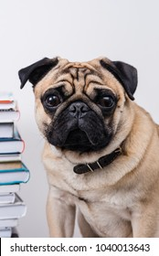 dog pug with books on a white background