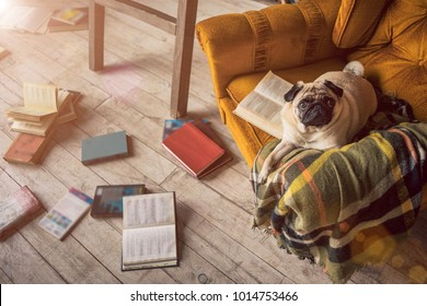 Dog pug in comfortable chair in library