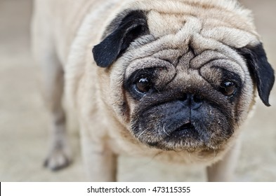 dog pug lying,It very sad