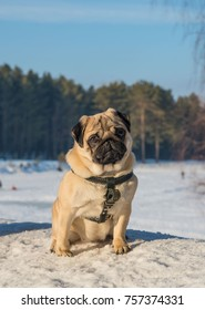 Dog Pug. Dog pug sad. Pug dog on white snow.