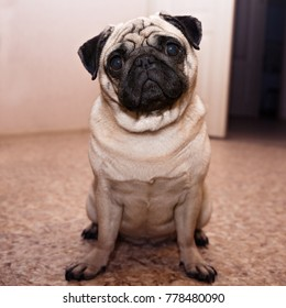 Dog pug sitting on the floor