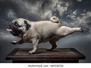 A dog pug stretches its front right and back left feet with its mouth open and tongue out. Background - grey clouds.