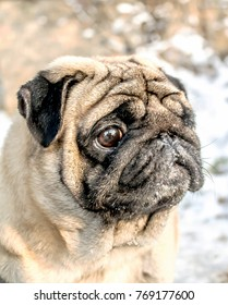 Dog pug in winter in nature blur