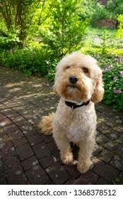 Dog (Puli) on garden terrace in spring