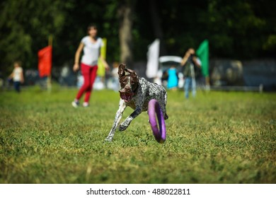 Dog puller. Dog breed shorthaired pointer playing with a puller.