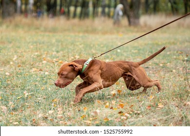the dog pulls the leash and his muscles stand out - Shutterstock ID 1525755992