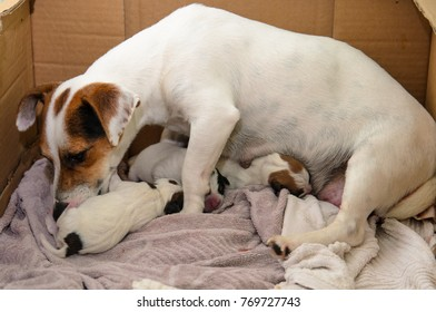 Dog puppies Jack Russell terrier right after birth, dog mom takes care of them.