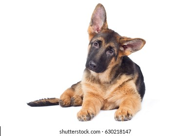 Dog puppy baby german shepherd dog breed dog lies and looks attentively sad with oblique head big ears