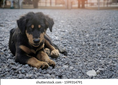 Dog Puppy black breed Golden Retriever playing on rock ground small dog cute for friendly
