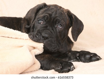 The dog a puppy of breed of Cane Corso Italiano gnaws a blanket.
