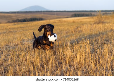 dog (puppy), breed dachshund black and tan, looks at his ball while waiting for the game on a autumn grass and mountains