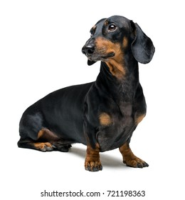 A dog (puppy) of the dachshund male breed, black and tan on isolated on white background