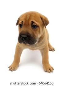 Dog puppy isolated on white background