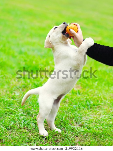 Dog puppy Labrador Retriever playing with owner and ball on grass