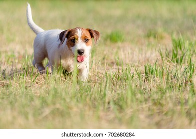 The dog purebred puppy jack russel terrier walks around a summer meadow.