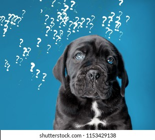 Dog and question marks on a turquoise background, puppy Kane Corso asks