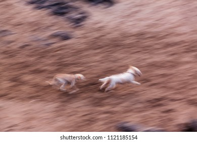Dog race, beach