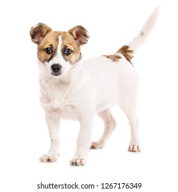 The dog is with a raised tail. Funny puppy stands sideways. Puppy standing near the ball. Isolated on a white background. As package design element for dog food