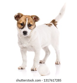 The dog is with a raised tail. Puppy standing near the ball. Isolated on a white background. Poster for hotels for animals