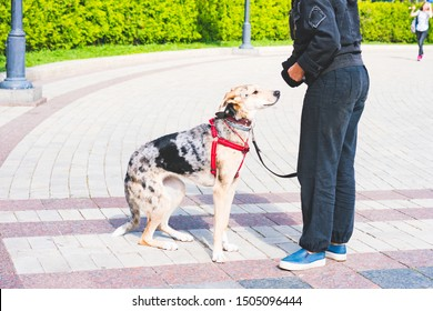 Dog ready to eat food, pet owner gives food to pet from the little food bag on the belt. Feeding a dog in the park. Dog sits and asks for food from the owner