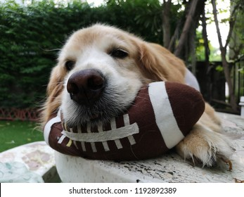 The dog is ready for the football game.