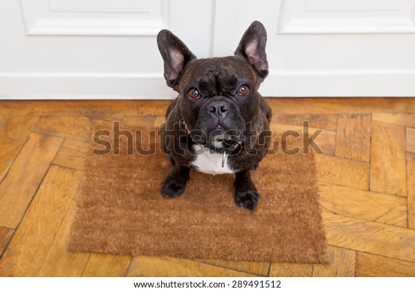 dog ready for a walk with owner begging, sitting and waiting ,on the floor doormat inside their home
