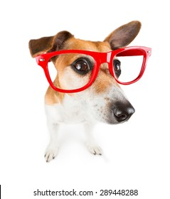 Dog with red glasses kinda looks closely