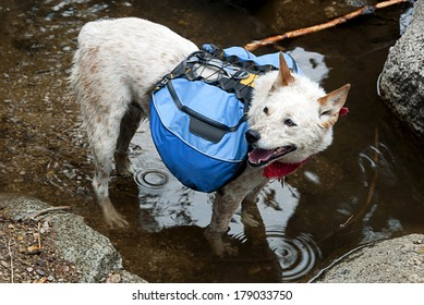 Dog, Red Heeler Cattle Dog with blue backpack, wading a mountain stream crossing.