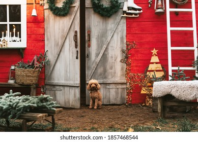 dog red poodle sitting on the porch of a house decorated for Christmas, backyard porch of the rural house decorated for Christmas, winter still life - Shutterstock ID 1857468544