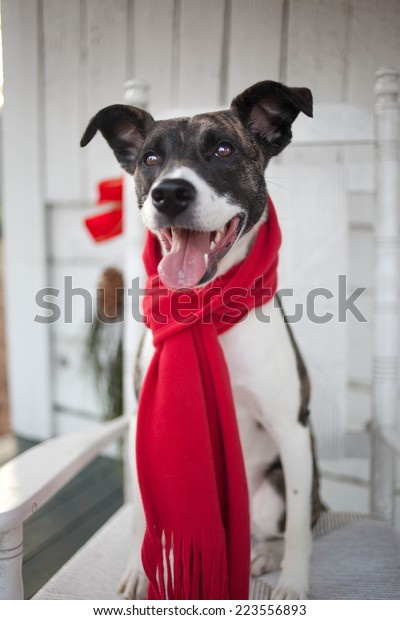 Miraculous Dog Red Scarf Sits Rocking Chair Stock Photo Edit Now Squirreltailoven Fun Painted Chair Ideas Images Squirreltailovenorg