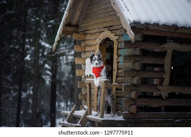 dog in a red scarf at the wooden house. Border Collie in winter. Pet on a walk