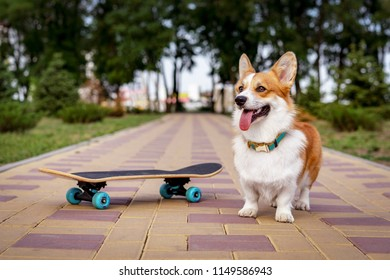 dog redhead  pembroke welsh corgi standing  near the a skateboard on the street for a summer walk in the park