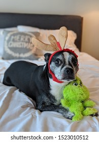 Dog in reineer antlers with grinch toy.