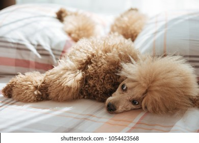 Dog relaxing on bed.