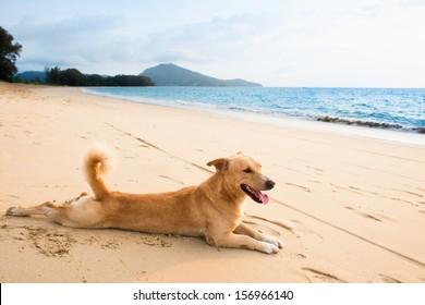 Dog relaxing on sand tropical beach near the blue