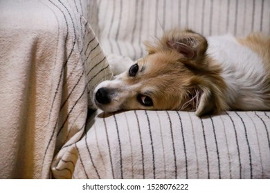 Dog rest at home. Portrait of sweet little mixed breed dog on bed. Cute small half breed dog laying, rest, enjoy and sleep in sofa, couch. Domestic animal, pet concept. Happy life of dog. Pet shop.