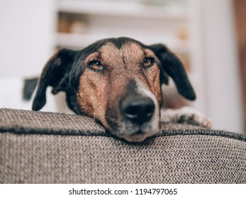 Dog resting at home. Cute terrier dog lying on sofa.