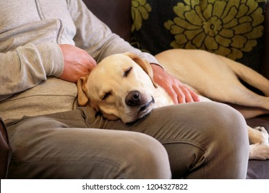 Dog is resting for man owner petting his pet, closeup. Yellow labrador retriever dog feel happy while his owner pampering. Pet owner with dog at home, laying and sleeping on legs. Cute doggy and pet.