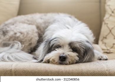 Dog Resting On The Sofa