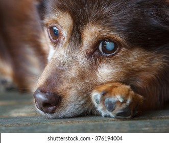 Dog Resting.  A dog is seen resting on a bench.  The dog is partially sighted having a cataract on his left eye.