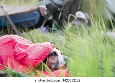 A dog rests in a sleeping bag in front of a canoe boat at camping site. Active rest with domestic pets concept: american staffordshire terrier at a kayaking river trip having a rest in tall grass